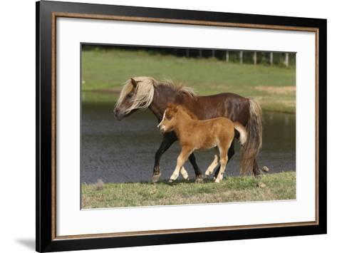 Miniature Horse 002-Bob Langrish-Framed Art Print