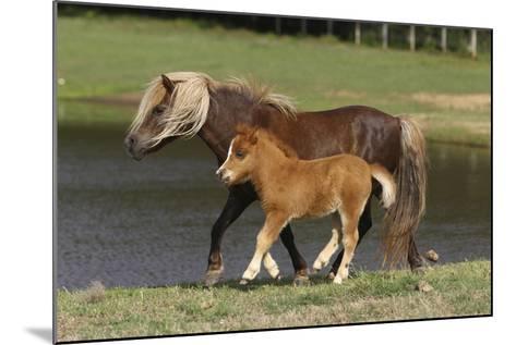 Miniature Horse 002-Bob Langrish-Mounted Photographic Print