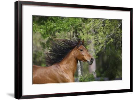 Ploomwood Arabians 046-Bob Langrish-Framed Art Print