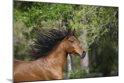Ploomwood Arabians 046-Bob Langrish-Mounted Photographic Print