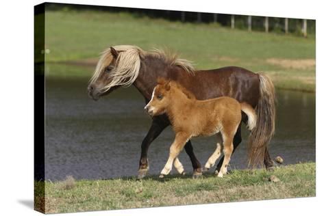 Miniature Horse 002-Bob Langrish-Stretched Canvas Print