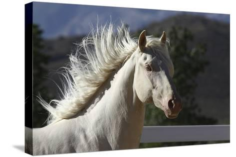 Lusitano 006-Bob Langrish-Stretched Canvas Print