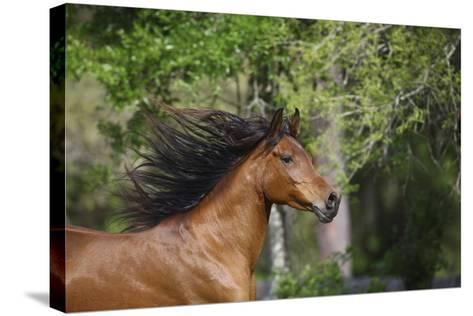 Ploomwood Arabians 046-Bob Langrish-Stretched Canvas Print