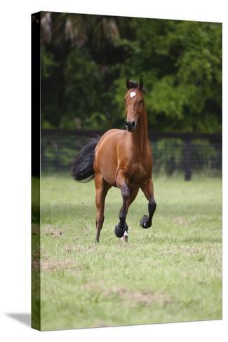 Quarter Horses 012-Bob Langrish-Stretched Canvas Print