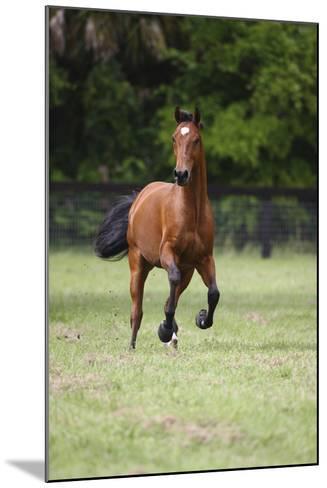 Quarter Horses 012-Bob Langrish-Mounted Photographic Print