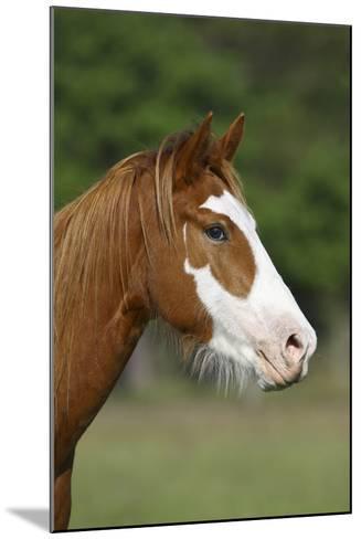 Quarter Horses 013-Bob Langrish-Mounted Photographic Print