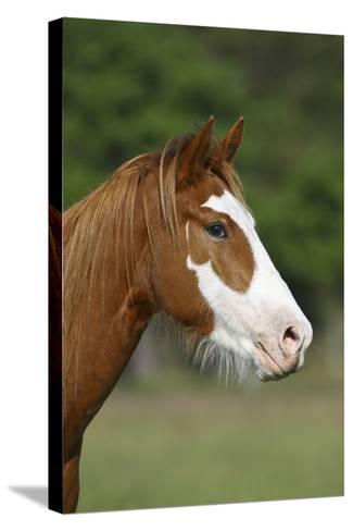 Quarter Horses 013-Bob Langrish-Stretched Canvas Print