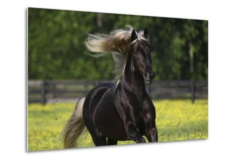 Rocky Mountain Stallion 002-Bob Langrish-Metal Print