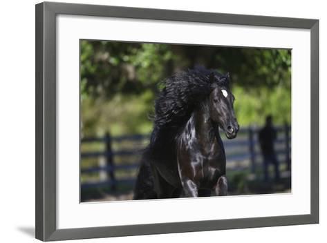 Gypsy Vanner 002-Bob Langrish-Framed Art Print
