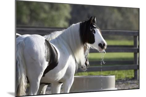 Gypsy Vanner 004-Bob Langrish-Mounted Photographic Print