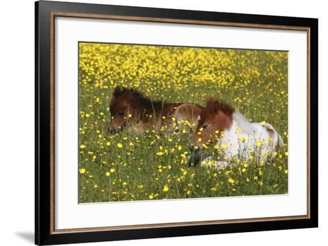Shetland Pony 012-Bob Langrish-Framed Art Print