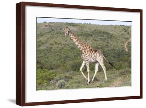 African Giraffes 063-Bob Langrish-Framed Art Print