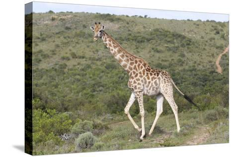 African Giraffes 063-Bob Langrish-Stretched Canvas Print