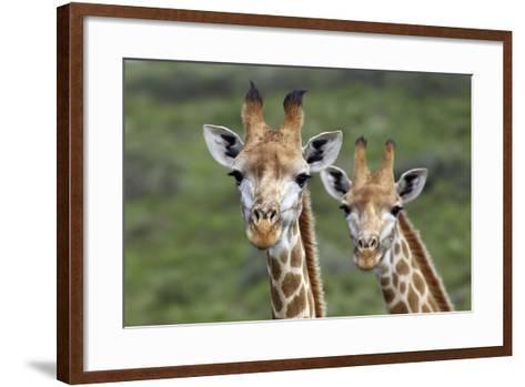 African Giraffes 074-Bob Langrish-Framed Art Print