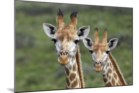 African Giraffes 074-Bob Langrish-Mounted Photographic Print