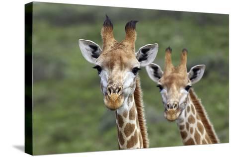 African Giraffes 074-Bob Langrish-Stretched Canvas Print