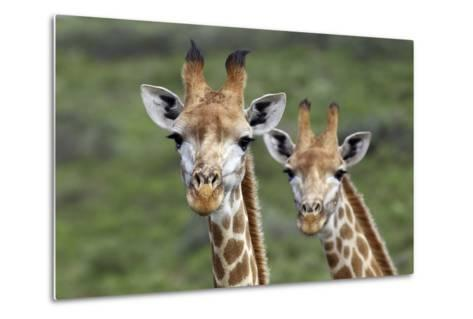 African Giraffes 074-Bob Langrish-Metal Print