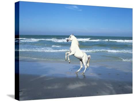 Dream Horses 006-Bob Langrish-Stretched Canvas Print