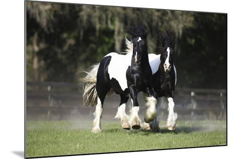 Gypsy Vanner 018-Bob Langrish-Mounted Photographic Print