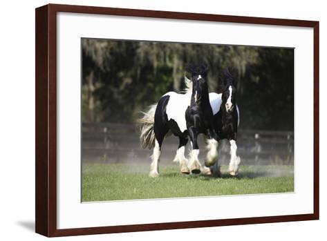 Gypsy Vanner 018-Bob Langrish-Framed Art Print