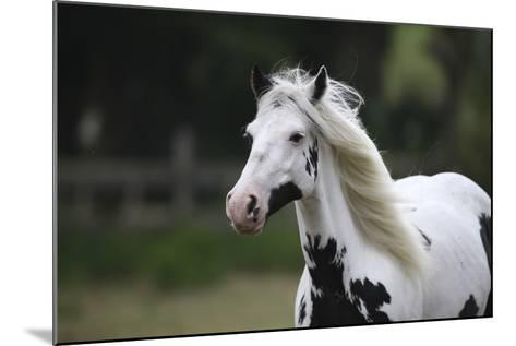 Gypsy Vanner 025-Bob Langrish-Mounted Photographic Print