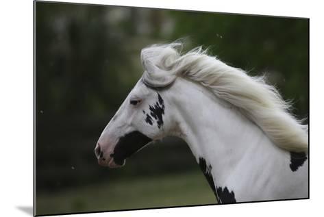 Gypsy Vanner 019-Bob Langrish-Mounted Photographic Print