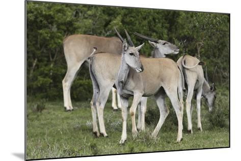 African Eland 10-Bob Langrish-Mounted Photographic Print