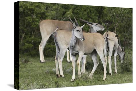 African Eland 10-Bob Langrish-Stretched Canvas Print