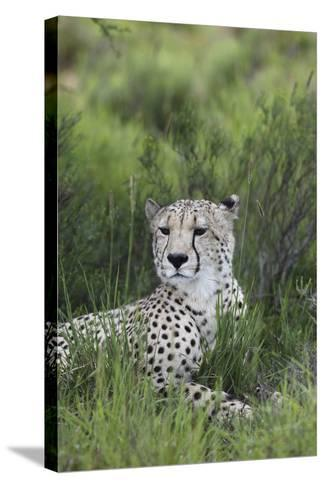 African Cheetah 014-Bob Langrish-Stretched Canvas Print