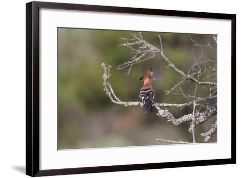 African Hoopoe 02-Bob Langrish-Framed Art Print