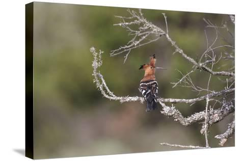 African Hoopoe 02-Bob Langrish-Stretched Canvas Print