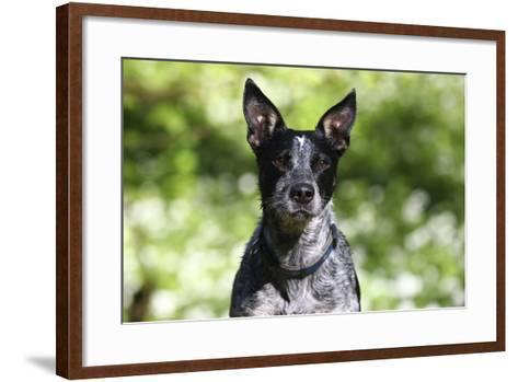 Australian Heeler 06-Bob Langrish-Framed Art Print
