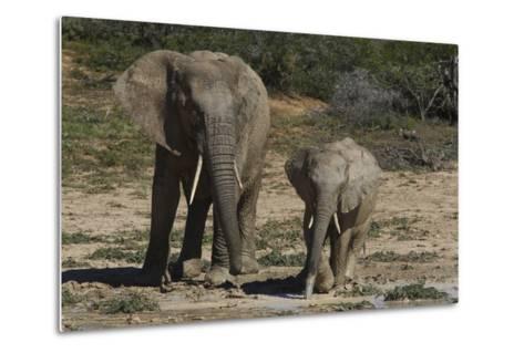African Elephants 086-Bob Langrish-Metal Print