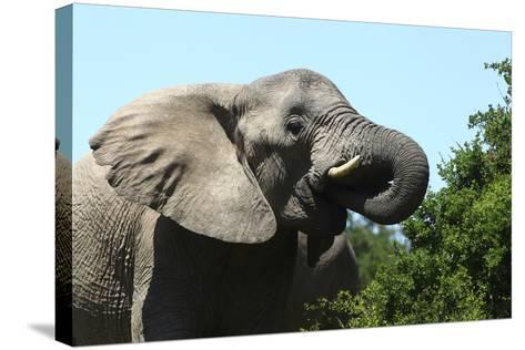 African Elephants 069-Bob Langrish-Stretched Canvas Print