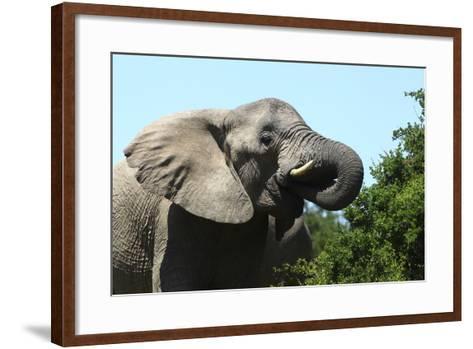 African Elephants 069-Bob Langrish-Framed Art Print