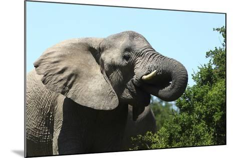 African Elephants 069-Bob Langrish-Mounted Photographic Print