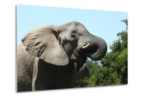 African Elephants 069-Bob Langrish-Metal Print