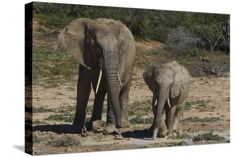 African Elephants 086-Bob Langrish-Stretched Canvas Print