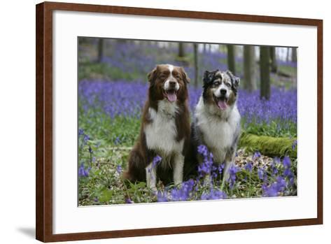Australian Shepherd 53-Bob Langrish-Framed Art Print