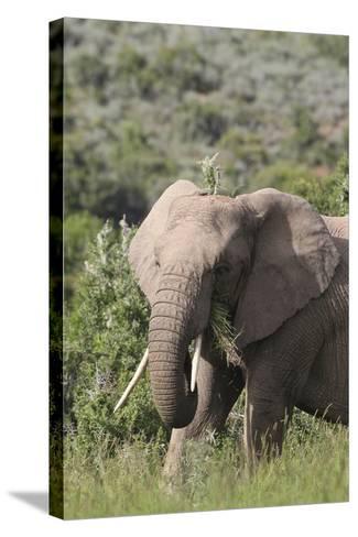 African Elephants 085-Bob Langrish-Stretched Canvas Print