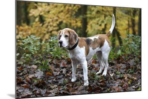 Beagle 05-Bob Langrish-Mounted Photographic Print