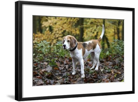 Beagle 05-Bob Langrish-Framed Art Print