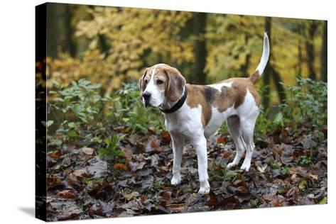 Beagle 05-Bob Langrish-Stretched Canvas Print