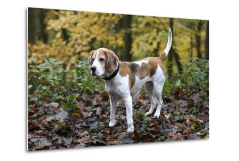 Beagle 05-Bob Langrish-Metal Print