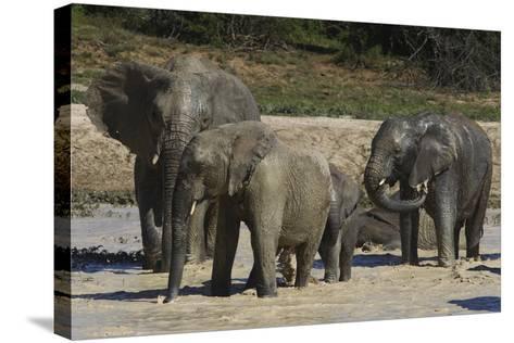 African Elephants 088-Bob Langrish-Stretched Canvas Print