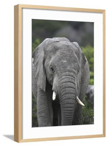 African Elephants 109-Bob Langrish-Framed Art Print