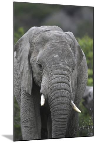 African Elephants 109-Bob Langrish-Mounted Photographic Print