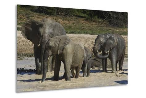 African Elephants 088-Bob Langrish-Metal Print