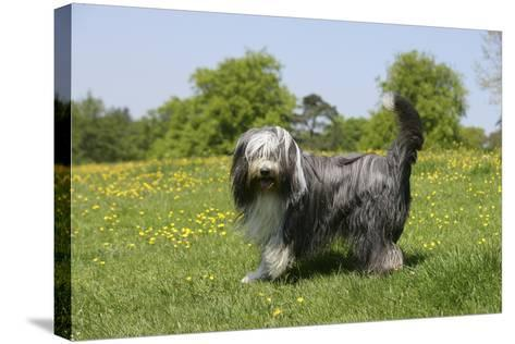 Bearded Collie 18-Bob Langrish-Stretched Canvas Print