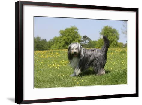 Bearded Collie 18-Bob Langrish-Framed Art Print